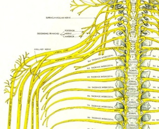 cervical spine and nerves