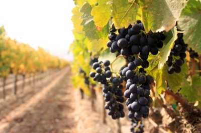 pacifica-wine-division-vineyard-management-vineyard-grapes